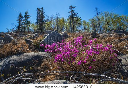 Flowering rhododendron on top of mountain Pidan