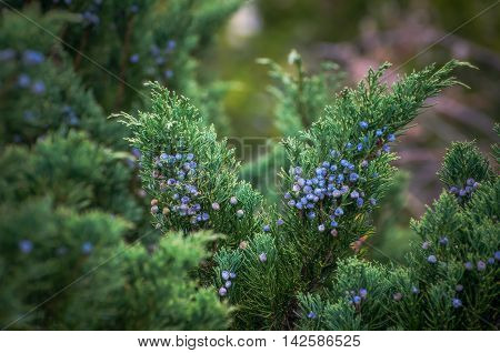 juniper berries in a botanical garden near Vladivostok