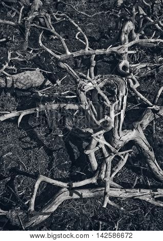Intertwined dry trunks elfin woods on a top of mountain