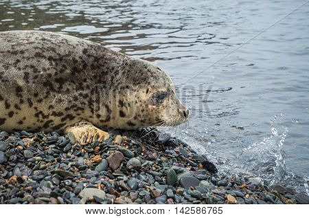 Spotted seals Larga on the pebbly shore and splash