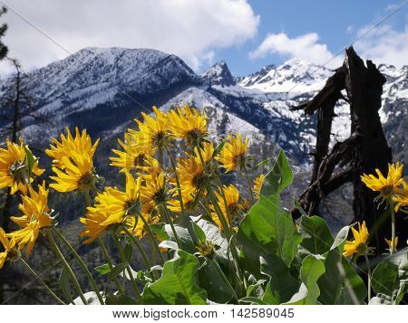 Arnica flowers and snow capped mountains. Fourth of July Trail near Leavenworth and Seattle Washington state USA.
