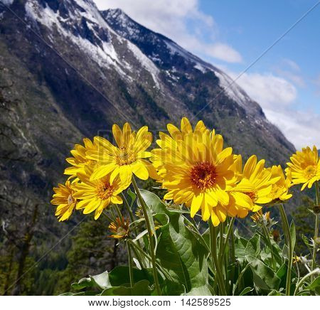 Bright yellow flowers and snowy mountains. Fourth of July Trail near Leavenworth and Seattle Washington state USA.