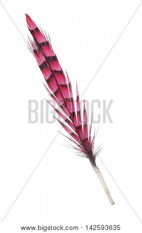 variegated red feather isolated on white background