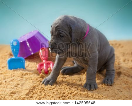 Grey Great Dane purebred puppy with its head dropping on the sand