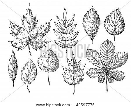Vector autumn drawing leaves set. Isolated objects. Hand drawn detailed botanical illustrations. Oak maple chestnut leaf sketch. Vintage fall seasonal decor.