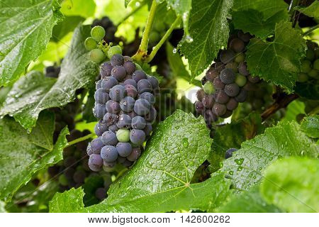 Clusters of wine grapes ripen on the vine.
