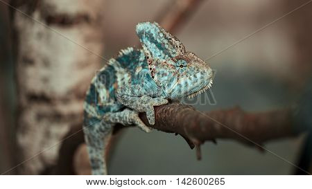 Yemeni Chameleon On The Branch