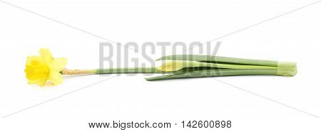 Single yellow narcissus flower lying on its side, composition isolated over the white background