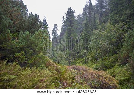 Dense Forest In The Mountains Of Khamar-daban.