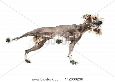Curious chinese crested dog stands in the studio on the white background. Photographed from below. Horizontal.