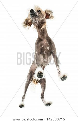 Funny chinese crested dog stands in the studio on the white background. Photographed from below. Vertical.