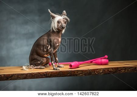 Cute chinese crested dog sits on the chipboard in the studio on the textured background. Near dog there are two pink sticks. Horizontal.