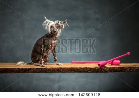 Amusing chinese crested dog sits on the chipboard in the studio on the textured background. Near dog there are two pink sticks. Horizontal.