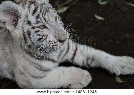 The bengal tiger cub lying on the ground.