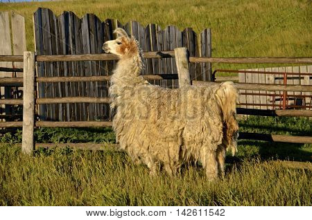 A wooly llama in need of a shearing stands near a weathered wooden fence