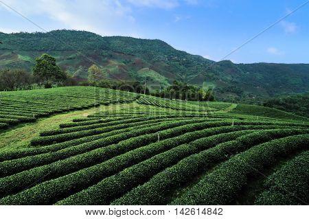 Green tea farm over the mountain hill at Chiangrai Thailand as background