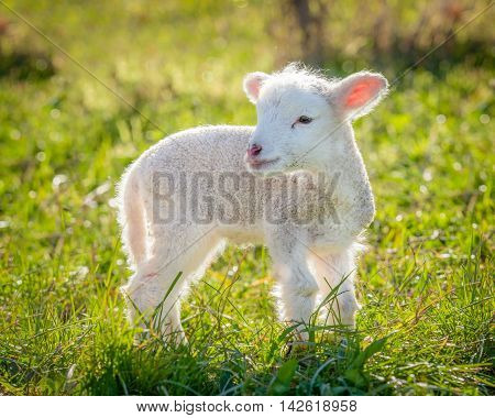 a very young small lamb white suffolk breed