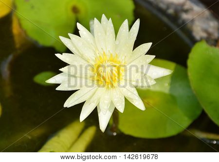 yellow lotus in clay water basin on the park