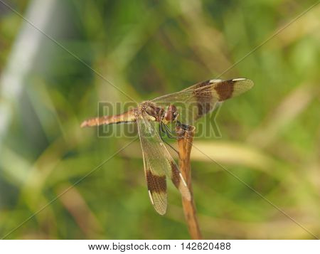 Dragonfly sitting on a blade of grass. Flying insects.