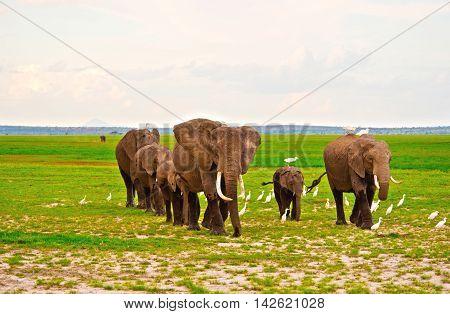 Elephants family on Safari in Amboseli Kenya Africa