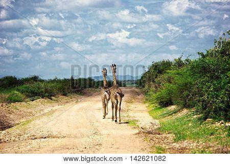 Two giraffes on Safari in Amboseli Kenya Africa