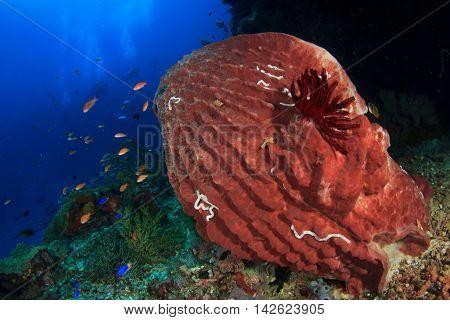 Coral reef barrel sponge and scuba divers