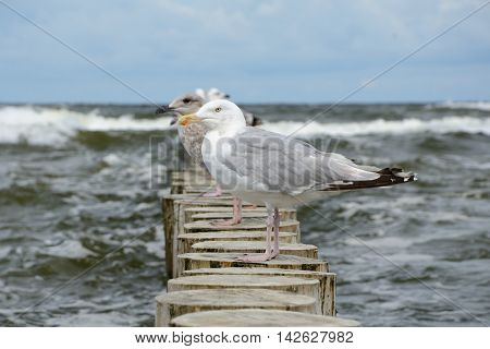 Seagulls standing on wooden palisade at baltic sea. Shallow depth of field.
