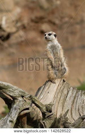 Meerkat Or Suricate