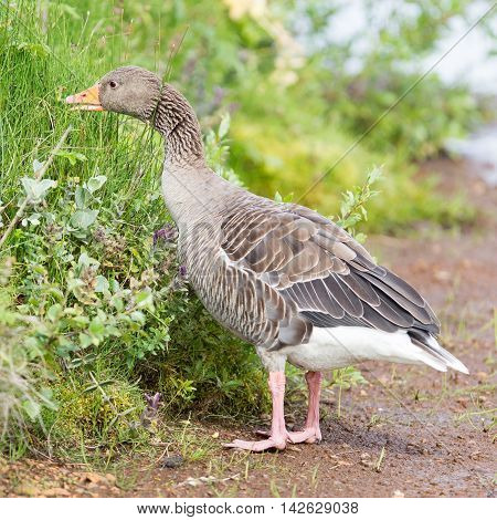 Greylag Goose Eating In A National Park In Iceland