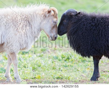 Black And White Sheep On Pasture -  Concent Of Love