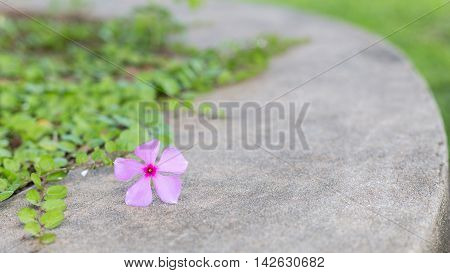 purple Madagasgar Periwinkle flower on concrete floor with selective focus