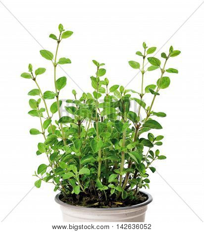 Fresh oregano plant or herb in a plant pot. Isolated on white.