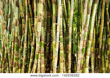 Bamboo forrest close up Fence of stalks growing close