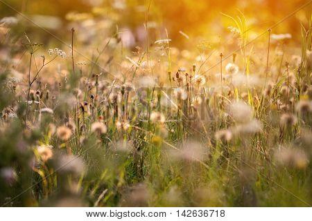 Romantic Atmosphere Of Summer Meadow