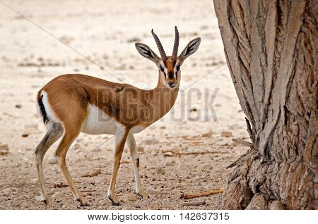 Dorcas gazelle (Gazella dorcas) known also as Ariel gazelle inhabits nature desert reserve near Eilat, Israel
