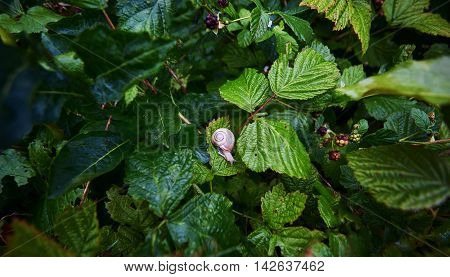 Snail in the grass among the leaves of raspberry