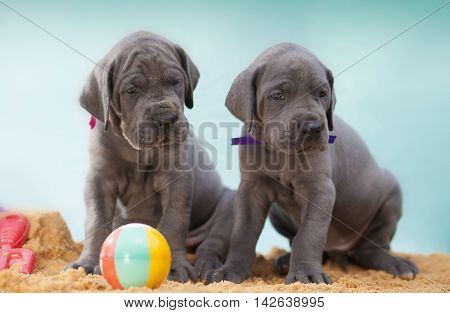 Two four week old Great Dane puppies with a ball on sand