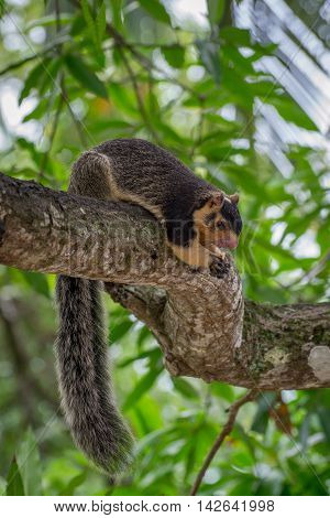 Ratufa. Giant Ceylon Squirrel. This rodent is very large bushy tail