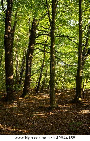 Beeches are widespread in the temperate zone of Europe Asia and North America. Its wood is used for the manufacture of musical instruments flooring furniture bentwood chairs