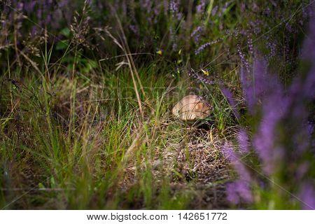 Beautiful shot of a single mushroom (Boletus edulis) hidden in grass