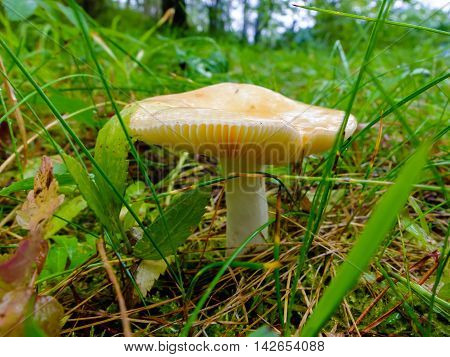 Wet mushroom edible Russula growing in the forest. Mushroom for salting. Season search of mushrooms for cooking.