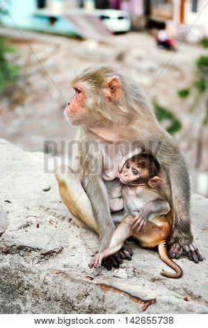 Mother monkey feeds her little cute baby animal near Galta Temple Galwar Bagh Monkey Temple in Jaipur India. The temple is famous for large troop of monkeys who live here.
