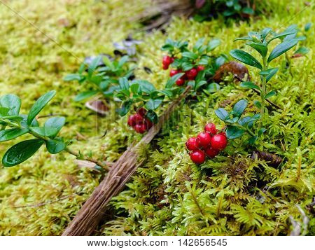 Cranberries in moss, healthy fruit is rich in vitamins. Berries for making jam or sweet syrup.