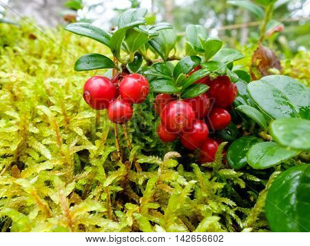 Cranberries in forest, healthy fruit is rich in vitamins. Berries for making jam or sweet syrup.