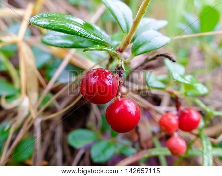 Cranberries growing in forest, healthy fruit is rich in vitamins. Berries for making jam or sweet syrup.