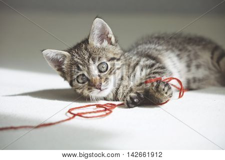 Small cute Kitten plays with red thread