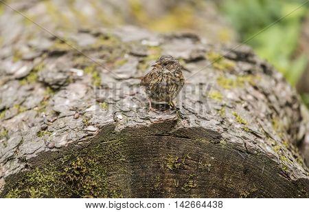 Dunnock, Prunella Modularis, Perched On A Tree Trunk