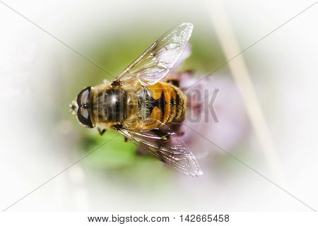 a black and yellow hoverfly pollinating a flower