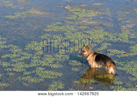 German shepherd dog stands into water of lake and waiting for a owner