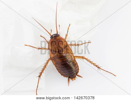 Close Up Cockroach On White